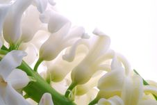 Free White Hyacinth Stock Photography - 8586652