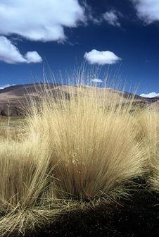 Pampas Gras In Bolivia,Bolivia Royalty Free Stock Image