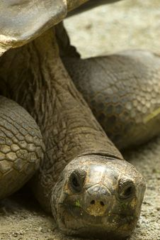 Free Giant Turtle Royalty Free Stock Photo - 8587785