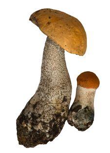 Free Two Orange-cap Mushrooms Royalty Free Stock Photography - 8588147