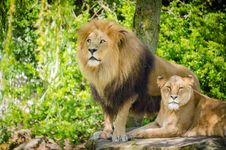 Free Lions Stock Images - 85818424