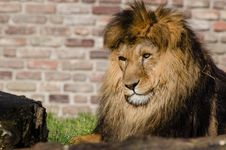 Free Lion Royalty Free Stock Images - 85818449