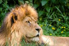 Free African Lion Stock Photos - 85818533