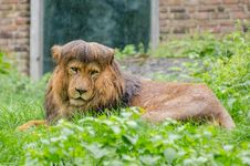 Free African Lion Royalty Free Stock Images - 85818579
