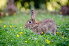 Free European Rabbit Stock Photos - 85818583