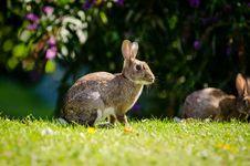 Free European Rabbit Stock Photos - 85818653