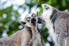 Free Ring-Tailed Lemurs Royalty Free Stock Photo - 85818695