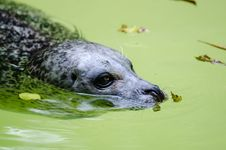Free Harbor Seal Stock Images - 85818744