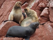 Free Seals On Rock Stock Photography - 85818752