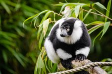 Free Black And White Ruffed Lemur Stock Photos - 85818903