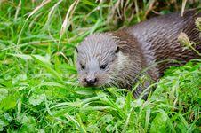 Free European Otter Royalty Free Stock Photos - 85818908