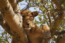 Free Lioness Resting In A Tree Stock Images - 85818914