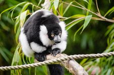 Free Black And White Ruffed Lemur Royalty Free Stock Images - 85818919