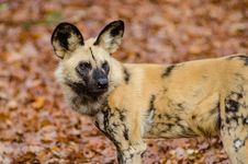 Free African Wild Dog Stock Photo - 85818950