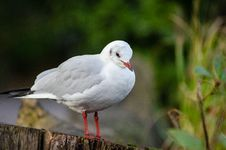 Free Black-headed Gull &x28;winter Plumage&x29; Royalty Free Stock Photo - 85819025