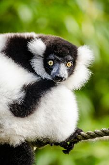 Free Black And White Ruffed Lemur Royalty Free Stock Images - 85819039