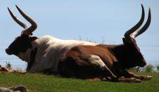 Free Maasai Cattle Stock Photos - 85824283