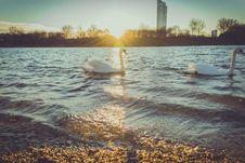 Free Swans On Lake At Sunrise Royalty Free Stock Photography - 85824387