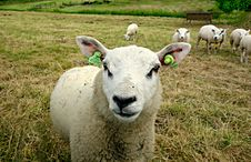 Free PUBLIC DOMAIN DEDICATION - Digionbew 9. 19-06-16 - Sheep In The Meadow LOW RES DSC01228 Royalty Free Stock Image - 85824596