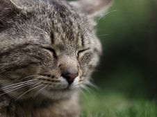 Free Head, Cat, Eye, Felidae Stock Image - 85824661