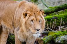 Free Young African Lion Royalty Free Stock Photo - 85824685