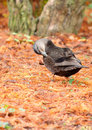 Free Preening Black Duck Stock Photos - 8594743