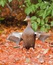 Free Black Duck Stock Image - 8595851