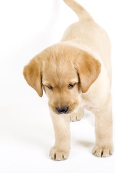 Free Puppy Labrador Retriever Royalty Free Stock Photos - 8590018