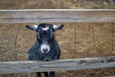 Free Baby Goat Royalty Free Stock Image - 8590446