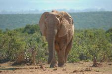 Free Elephant (Loxodonta Africana) Stock Photography - 8592642