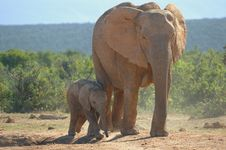 Free Elephant Cub With Mother Royalty Free Stock Photography - 8592687
