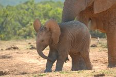 Free African Elephant Cub Stock Photos - 8592703
