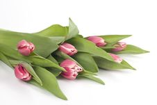 Free Pink Tulips Royalty Free Stock Photography - 8594647