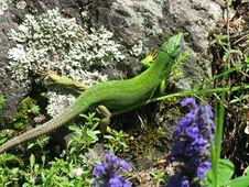Free Lizard Stock Photos - 8595083