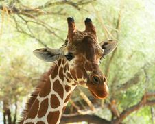 Free A Portrait Of An African Giraffe Royalty Free Stock Photo - 8595735