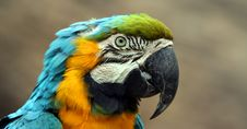 A Blue And Gold South American Macaw Royalty Free Stock Photography