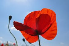 Free Poppy Royalty Free Stock Image - 8595926