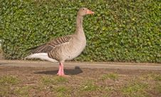 Lone Goose Standing On Grass - Copyspace Royalty Free Stock Images