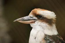 Free Kookaburra Stock Photography - 8596672