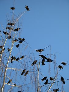 Free Crows Stock Photo - 8596690