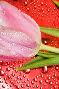 Free Pink Tulip Stock Image - 8597151