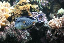 Free Lined Surgeonfish Royalty Free Stock Images - 8598509