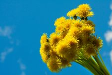 Free Blossoming Dandelions Royalty Free Stock Image - 8598656