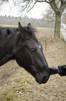 Free Black Horse Royalty Free Stock Photo - 8598665