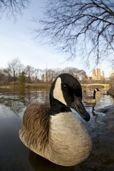 Free Canadian Geese Stock Photography - 8599572