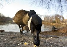 Free Canadian Geese Royalty Free Stock Image - 8599616