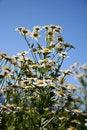 Free Wild Daisies - Oregon Wildflowers Stock Photo - 864350