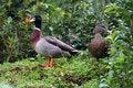 Free Couple Of Ducks Stock Image - 866291