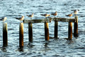 Free Seagulls On Pilings Royalty Free Stock Image - 867016