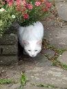 Free White Cat 2 Royalty Free Stock Photo - 868015